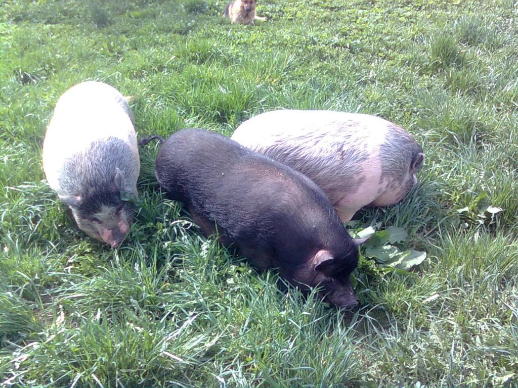Выращивание вислобрюхих свиней