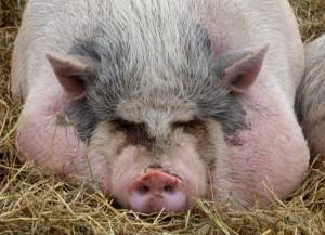 свинья на откорме