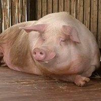 свинья на откорме до жирных кондиций