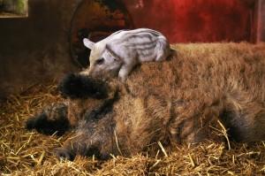 Свинья с поросенком Мангал