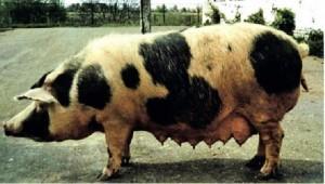 черно-пестрая свинья