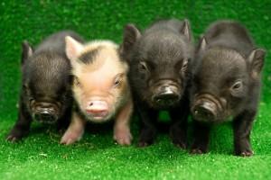 мини свинки