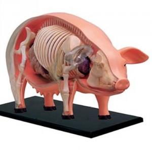 строение свиньи