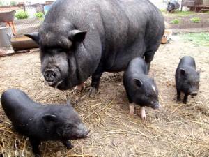 Вьетнамская свинья с поросятами
