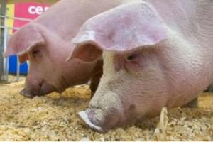 выращивание и откорм свиней