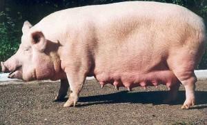 белая свинья беременная