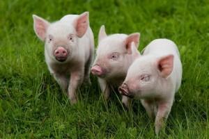 белые свиньи в траве