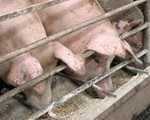 зерностержневая смесь кукурузы на откорме свиней