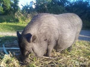 кормление вислобрюхой вьетнамской беременной свиньи