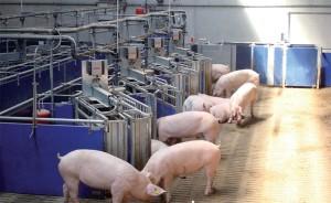 система кормления свиней по вызову
