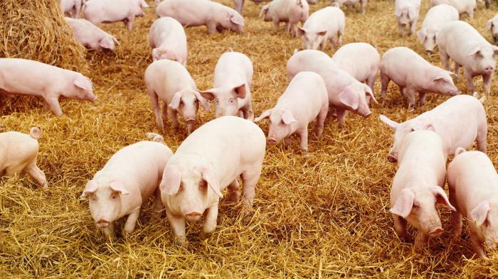 Свиньи в домашних условиях как бизнес