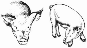 нарисованная свинья