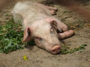 сальмонеллез свиней