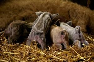поросята породы свиней венгерская пуховая мангалица