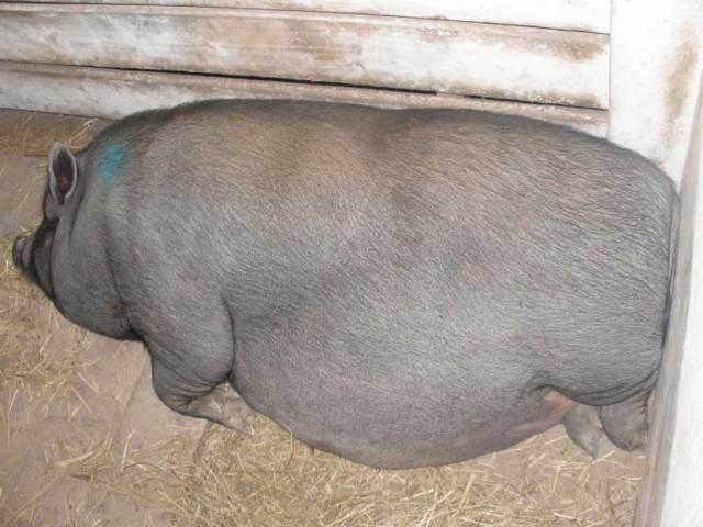 Свинья беременная во сне 99