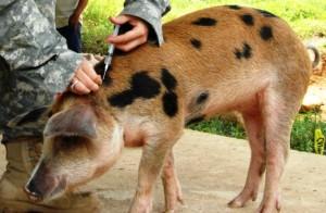 профилактические инъекции для свиней