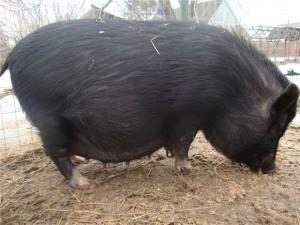 вислобрюхая вьетнамская беременная свинья