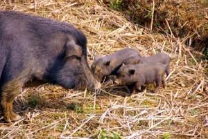 уход за вислобрюхими свиньями