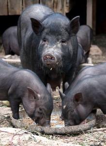 вьетнамская вислобрюхая травоядная свинья