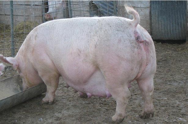 Как в домашних условия взвесить свинью
