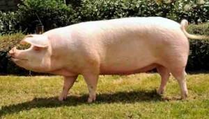 свинья ландрас