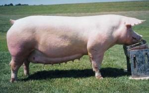 кормление свиньи ландрас