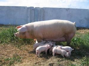 свинья ландрас с поросятами