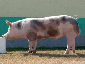 свинья породы пьетрен