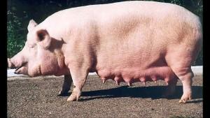 украинская степная свинья