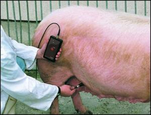 определение беременности у свиней