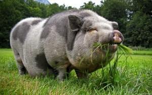 беременная вьетнаская свинья