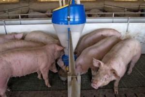 кормление на свиноферме