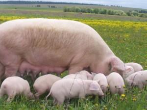 свинья с поросятами на лугу