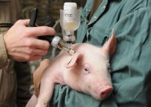 инъекция свинье