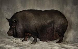 свинья вислобрюхая вьетнамская