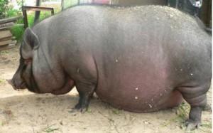 свинья в ожидании потомства
