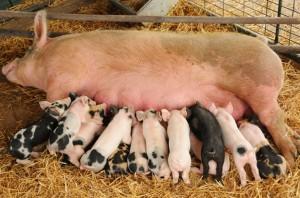 Срок беременности свиньи