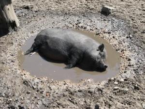 свинья в грязевой яме