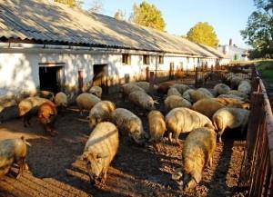 выгул свиней венгерской породы