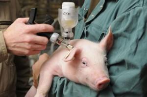 вакцинация свиней как мера профилактики