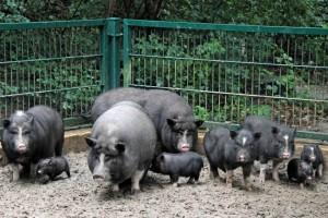 вьетнамские свиньи на выгуле