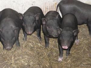 обустройство свинарника для вьетнамских свиней