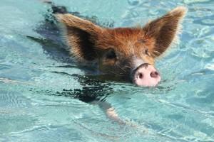 свинья плывет