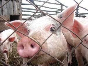 свинья смотрит через сетку