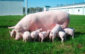 плодовитость свиноматки