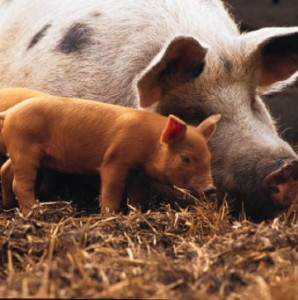 кормление свиней отходами