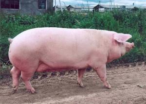 супоросная свиноматка шагает