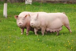 выбор хряка и свиноматки для случки