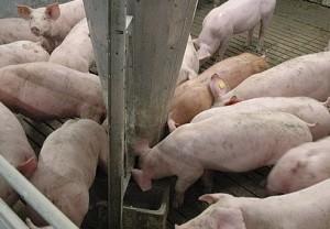 откорм свиней с кормовыми добавками