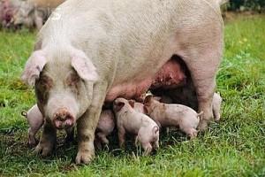 супоросная свинья с поросятами